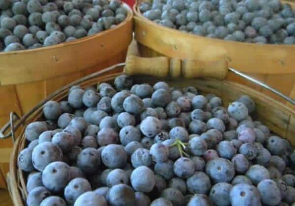 Picking blueberries in East Texas is one possibility for Dallas road trips the whole family will love. From RestlessChipotle.com
