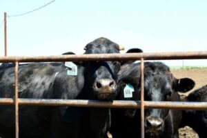 Black Angus Beef Cattle look through a gate.