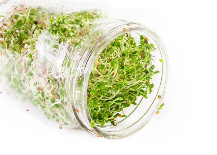 Alfalfa sprouts growing in a jar.